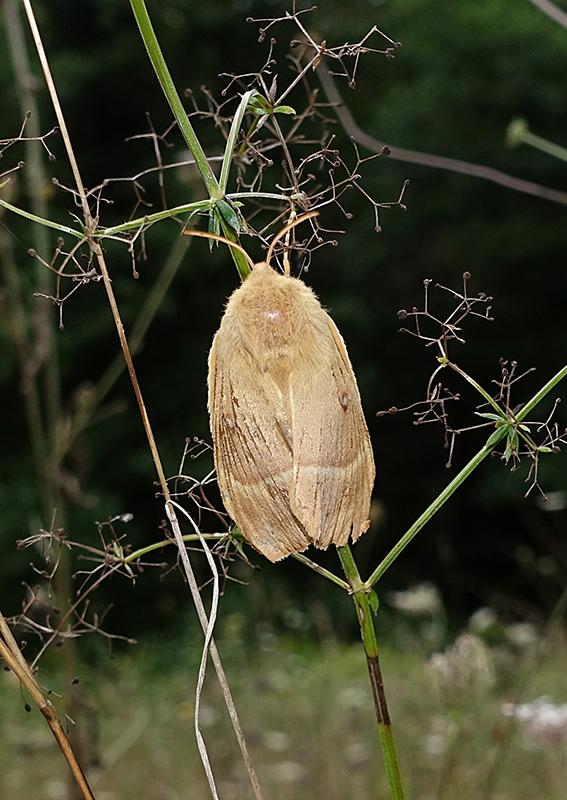 Femmina di Lasiocampa trifolii? No, L. quercus
