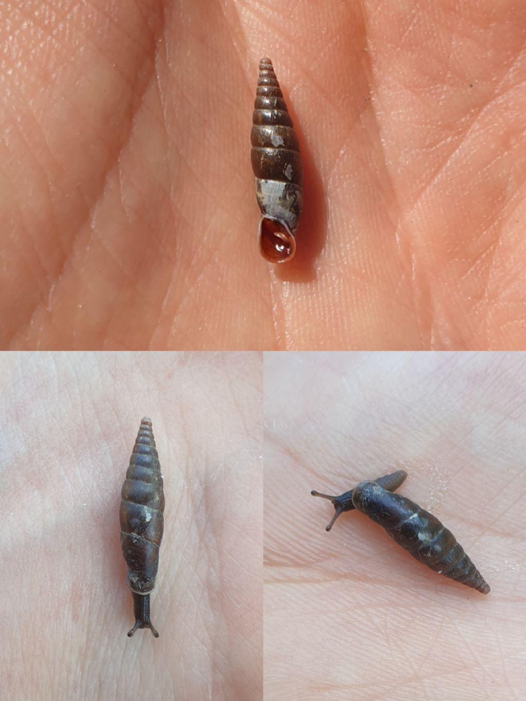 Conferma ID Clausilidae