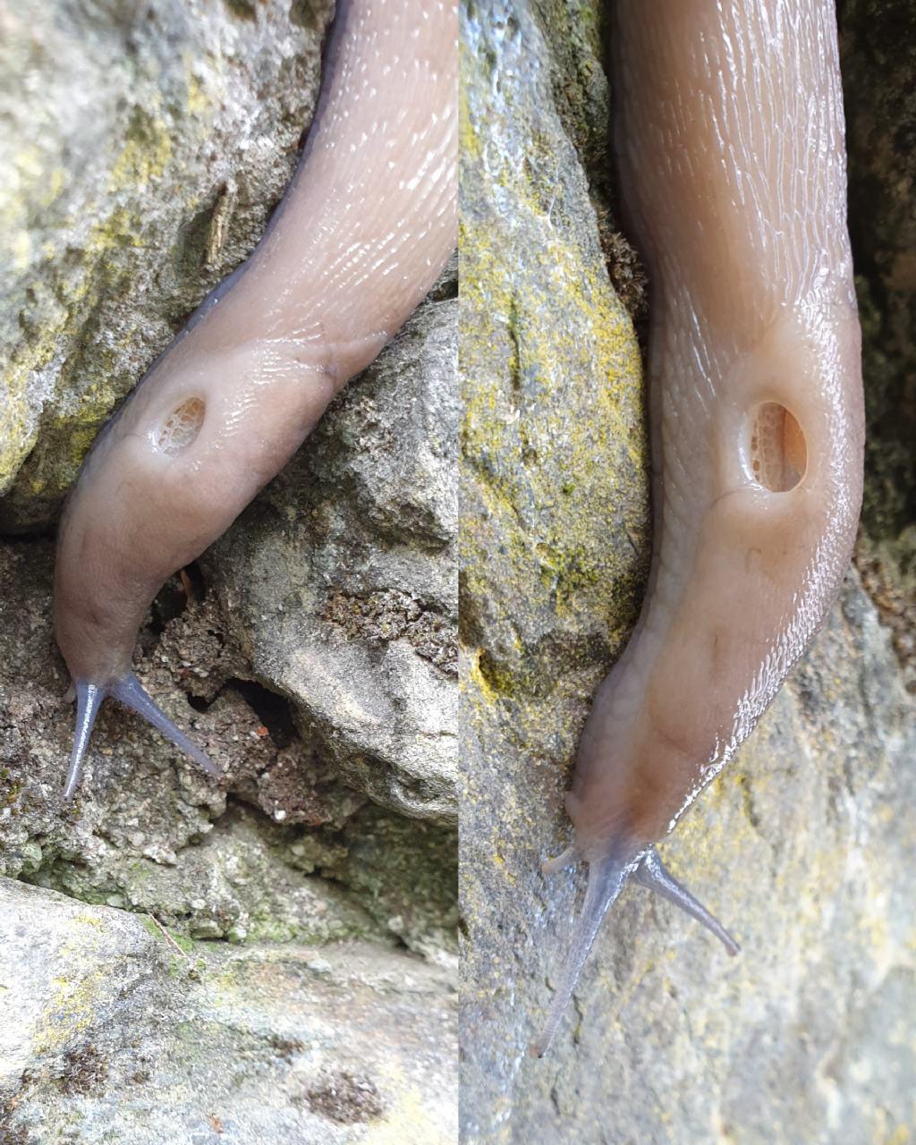 Limax subalpinus?