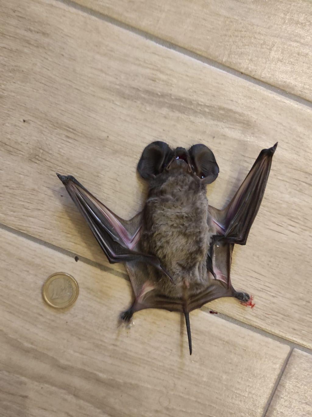 Di quale pipistrello si tratta?