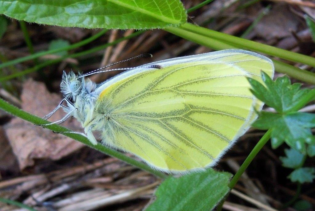 Pieridae: Pieris cfr. bryoniae