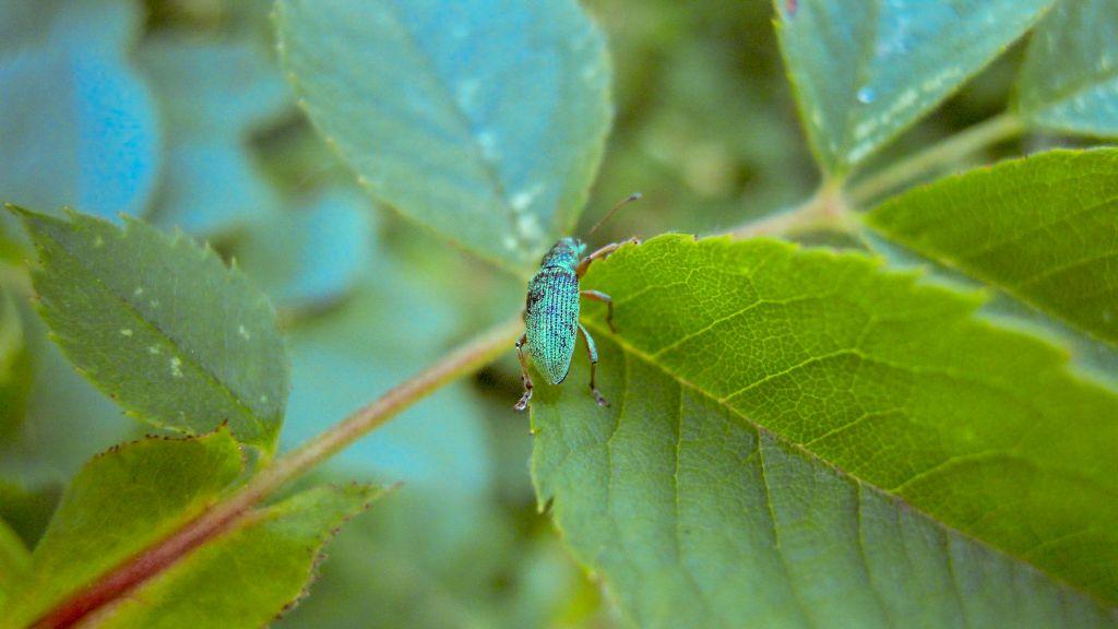 Curculionidae: cfr. Polydrusus sp., maschio