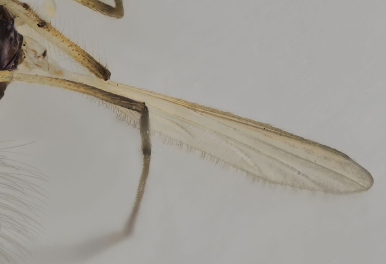 Chironomidae sp., maschio