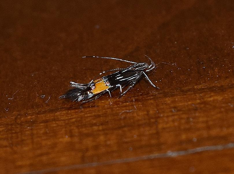 Cosmopterigidae: Cosmopterix pulchrimella