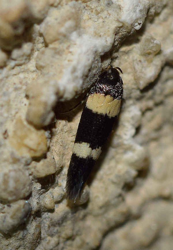 Bifascioides leucomelanella - Cosmopterigidae