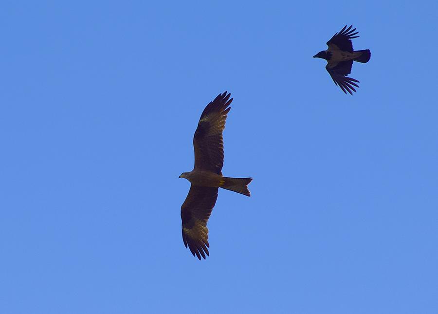 Nibbio bruno (Milvus migrans), giovane