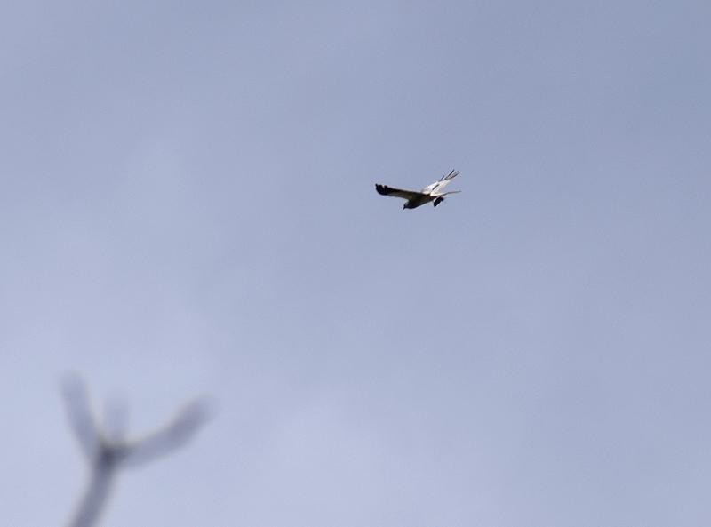 Aiuto id. Falco: Albanella minore (Circus pygargus)