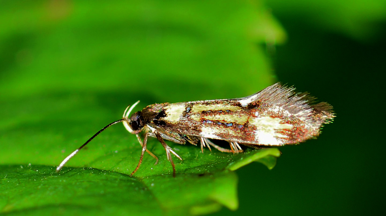 Schiffermuelleria grandis - Oecophoridae