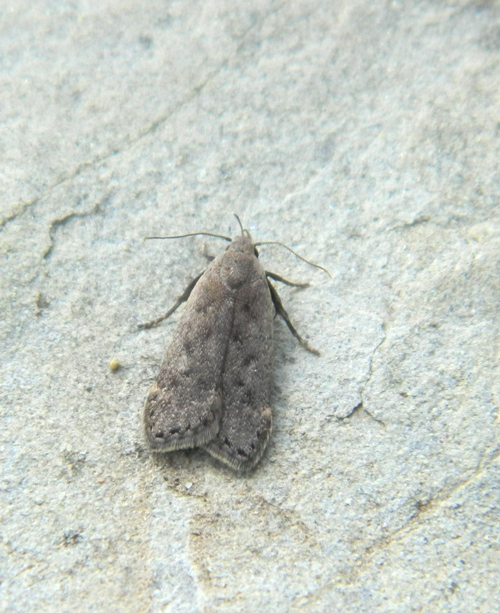 Anacampsis populella - Gelechiidae