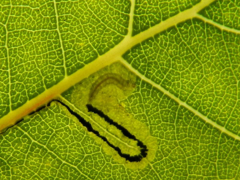 Larva di Nepticulidae e adulto di Stigmella trimaculella