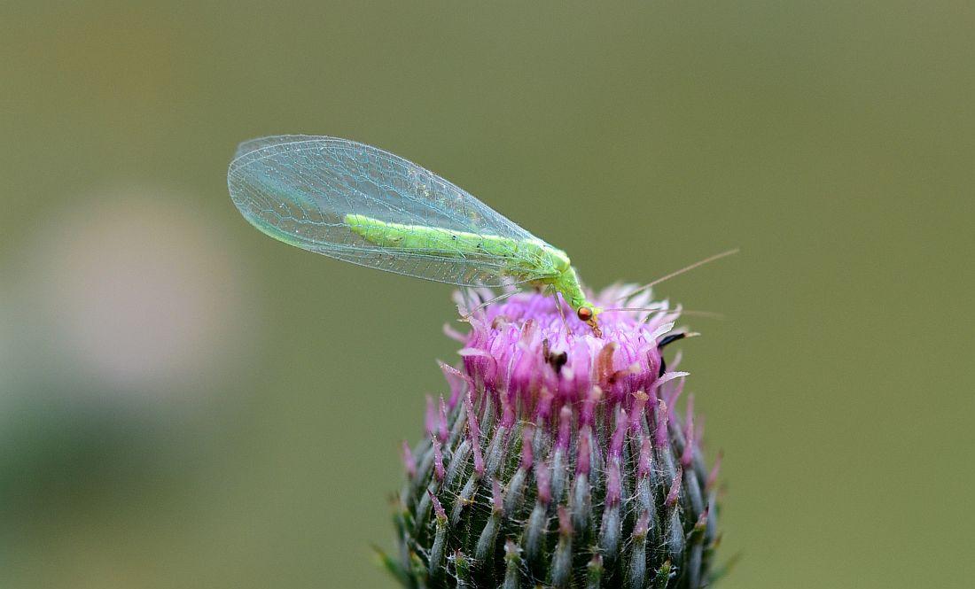 Chrysoperla cfr. lucasina (Chrysopidae)