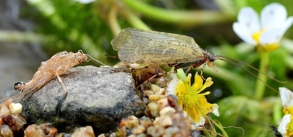 da identificare:  Limnephilidae: cfr. Stenophylax sp.