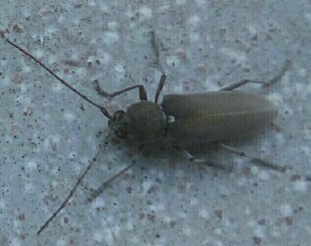 Insetto avvistato in Sicilia: Hesperophanes sericeus (Cerambycidae)
