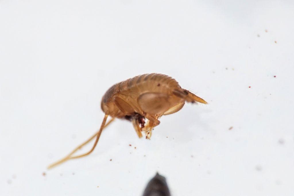 Myrmecophilus