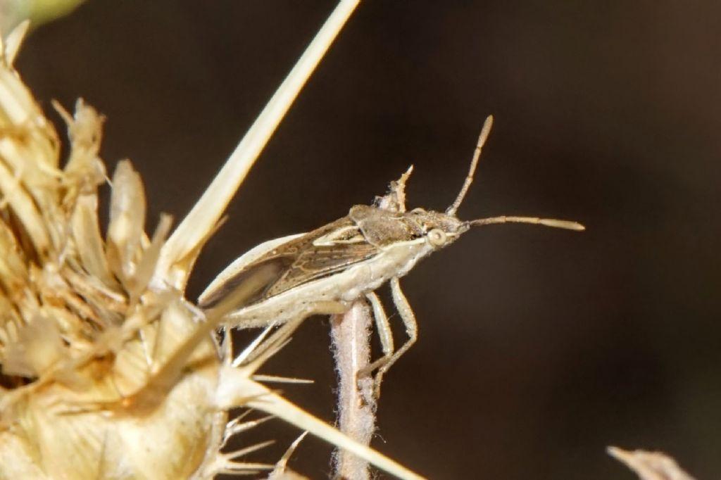Petnatomidae? No, Rhopalidae: Maccevethus sp.