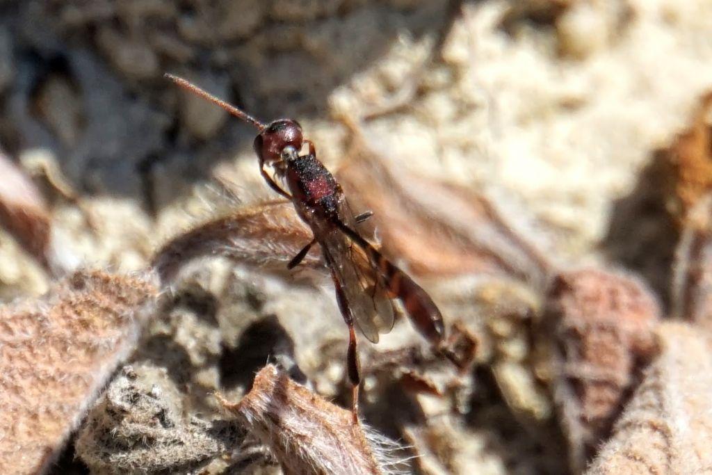 Gasteruptiidae: Gasteruption sp., cfr. G. hastator, maschio