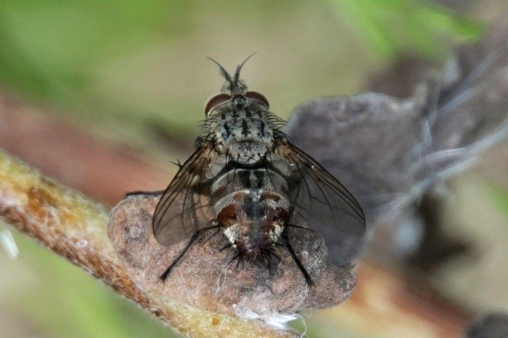 Tachinidae ID?