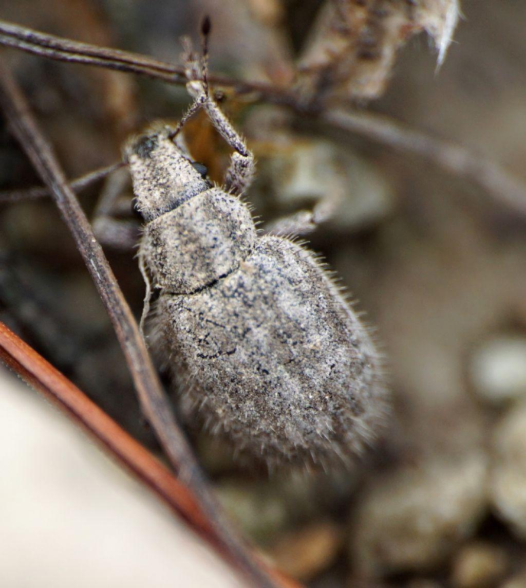 Curculionidae: Strophomorphus porcellus