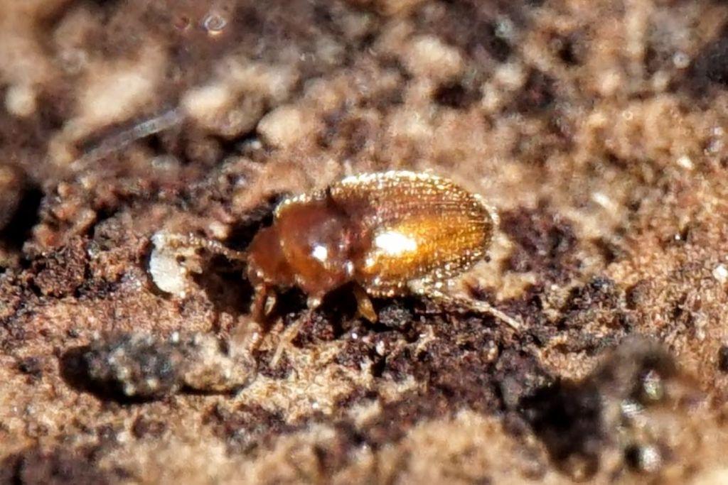 Endomychidae: Symbiotes gibberosus
