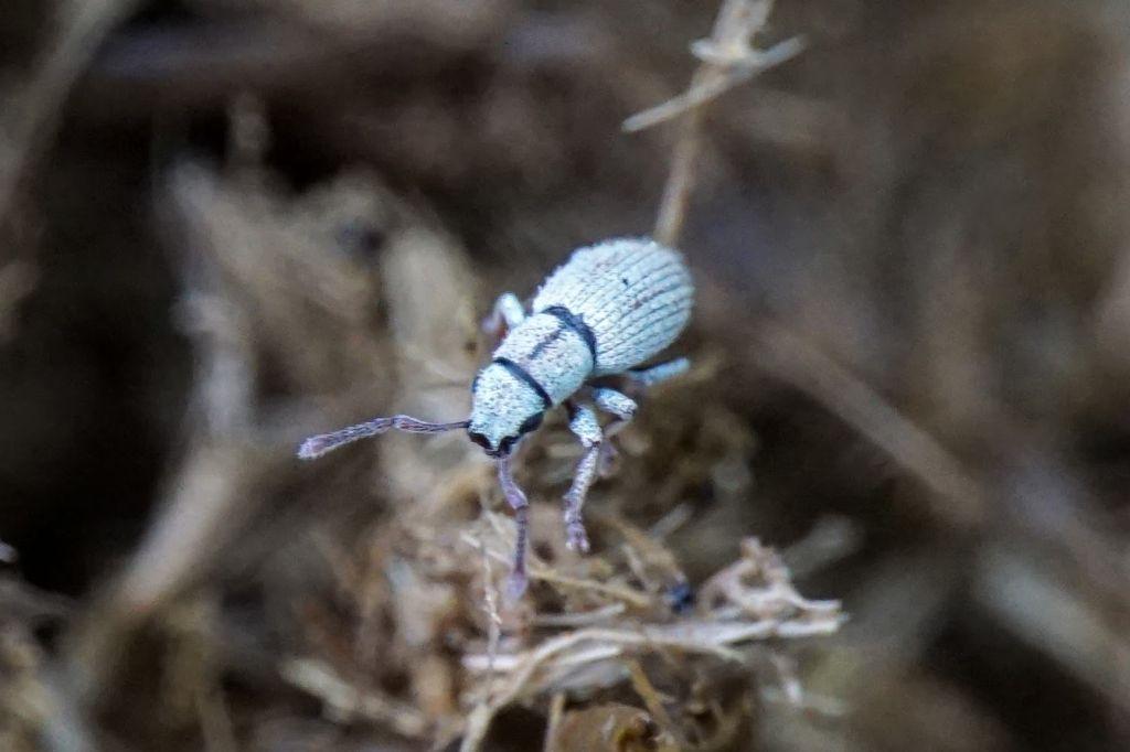 Curculionidae ID Croatia