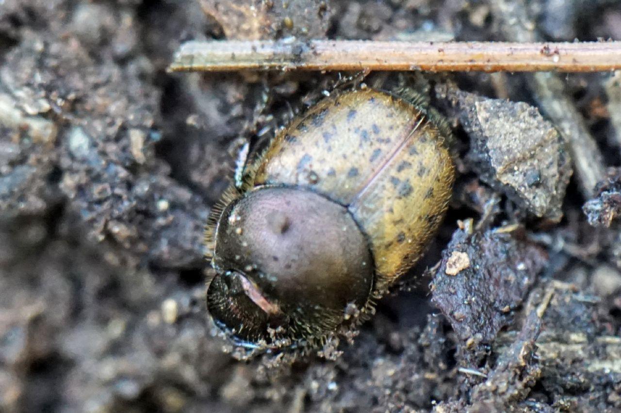 Scarabaeidae: femmina di Onthophagus cfr. coenobita