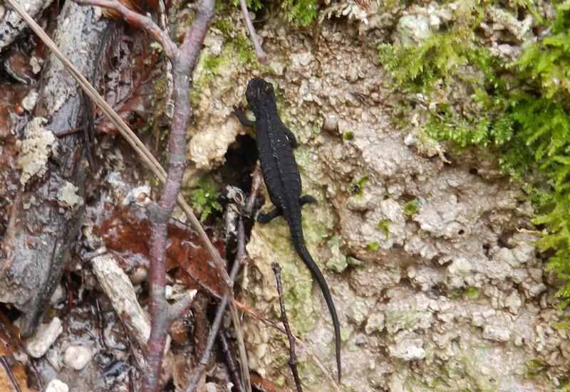 Salamandrina dagli occhiali (Salamandrina perspicillata)