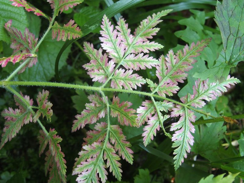 Mistero rosseggiante:  Myrrhis odorata (in sofferenza?)