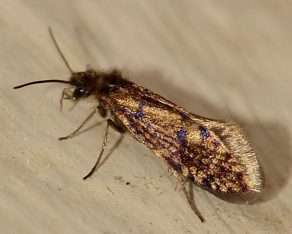 Eriocraniidae: Eriocrania cicatricella