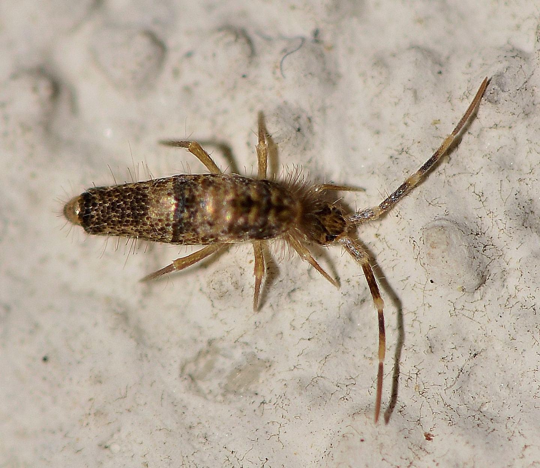 Collembola del Giglio: Entomobryidae: cfr. Seira sp.