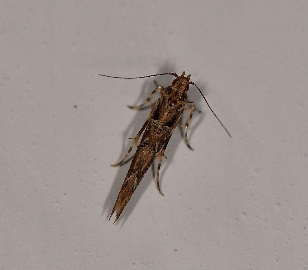 farfallina del Giglio - Anatrachyntis badia - Cosmopterigidae