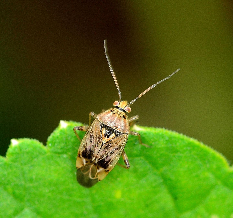 Miridae: Lygus sp.  (cfr. gemellatus ?)