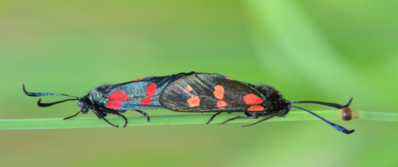 Zygaenidae da id - Zygaena (Zygaena) filipendulae