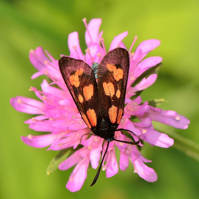 Zygaena cynarae - Zygaenidae
