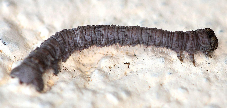 Larva di Geometridae ?? Sì, Campaea margaritaria