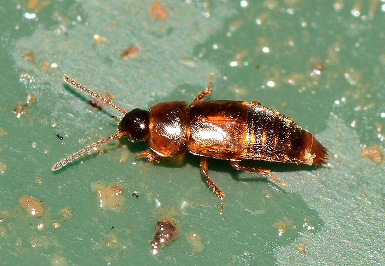 Staphylinidae da id:  Staphylininae Tachyporini