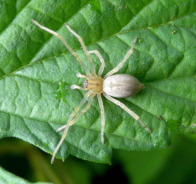 ragno chiaro