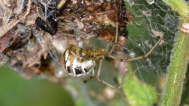 Phylloneta sp.