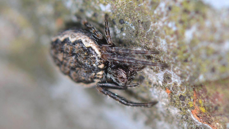 Nuctenea ?  Nuctenea cfr. silvicultrix - Bannio Anzino (VCO)