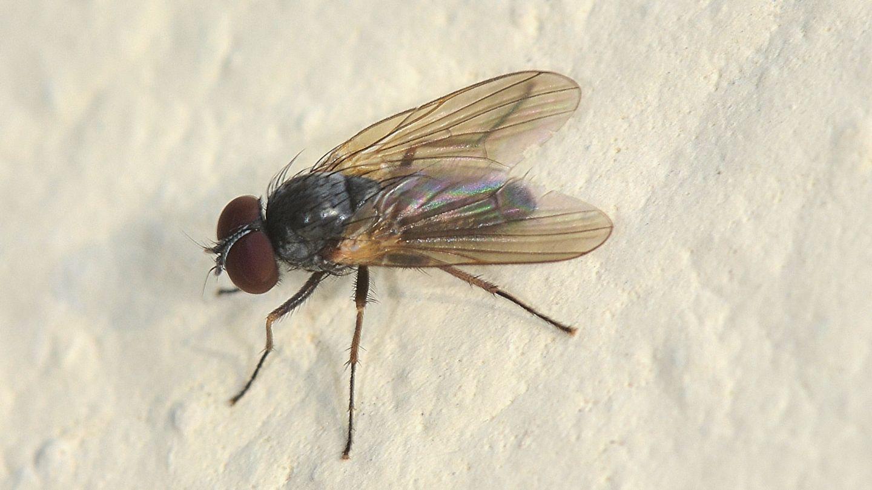Fannia sp. (Fanniidae)
