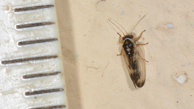 Forse Psocoptera ?    No, Psyllidae:  Psyllopsis cfr. fraxini