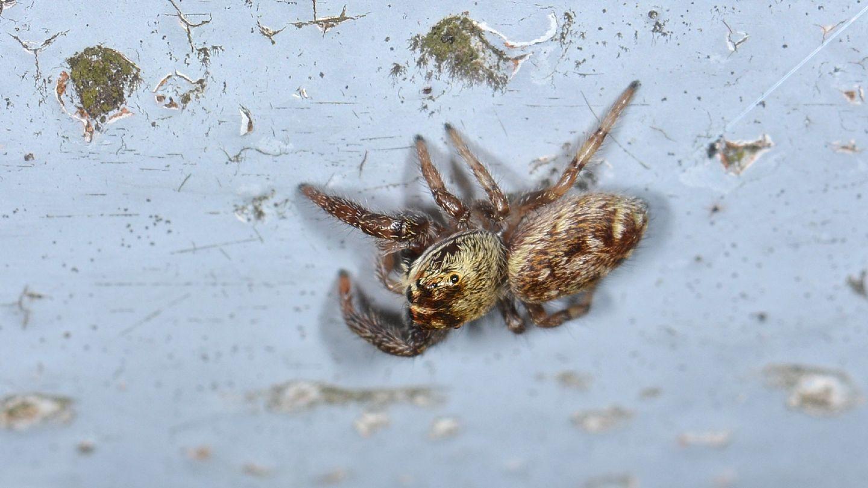 Salticidae: Macaroeris nidicolens - Bannio Anzino (VCO)