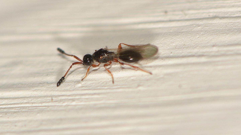Diapriidae da identificare