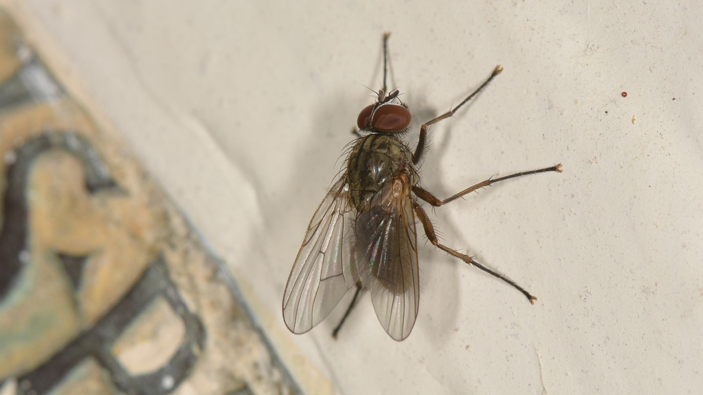 Mosca da id.: Phaonia sp. (Muscidae)