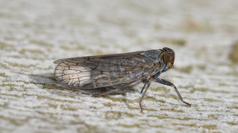 Cixiidae dalla Corsica