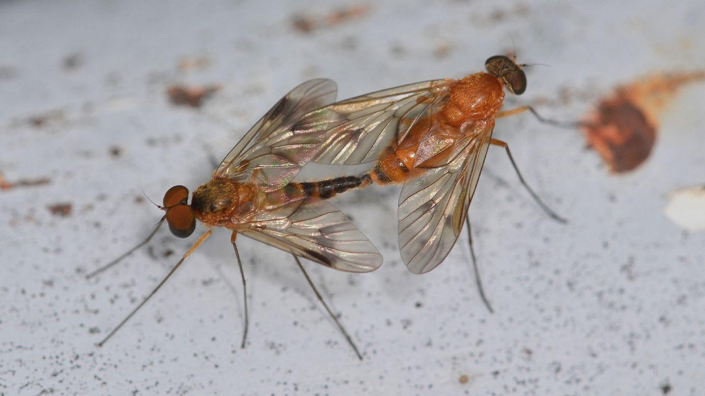 Coppia di Chrysopilus laetus (Rhagionidae)