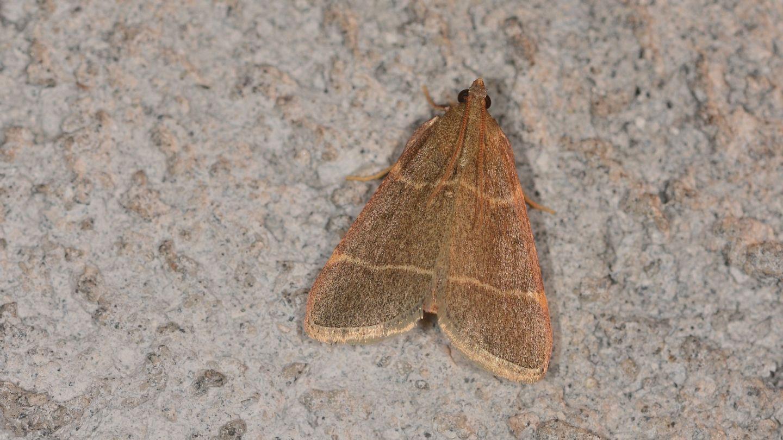 Hypsopygia glaucinalis  - Pyralidae