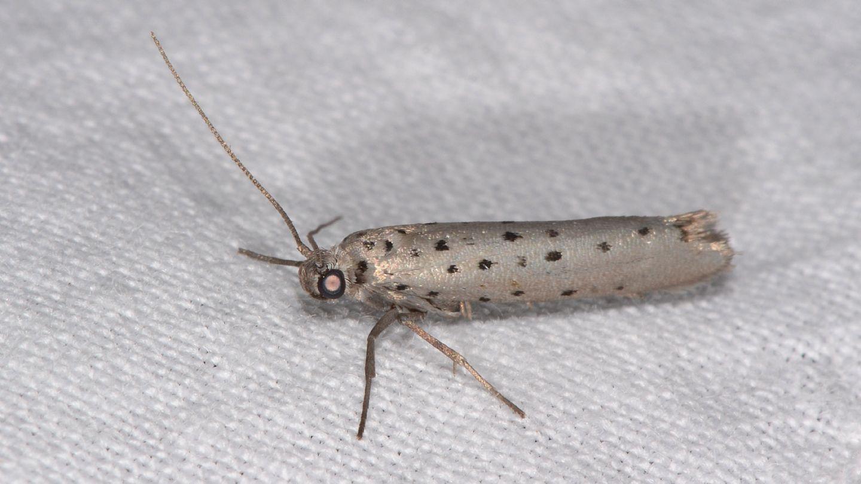 farfallina a pois:  Yponomeuta sedella (Yponomeutidae)