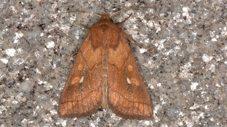 Noctuidae: Mythimna conigera? Sì