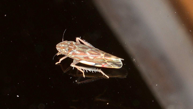 Cicadellidae Thyplocybinae: Erasmoneura vulnerata