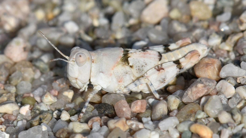 ninfa di Sphingonotus cfr. corsicus